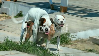 Video Footage Clip - dogs mating