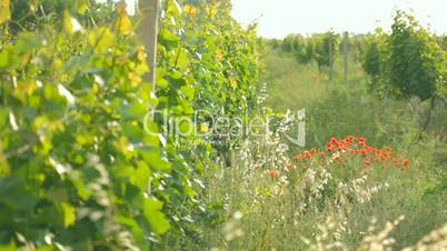 Plantation of young vineyard collecting sunlight together with wildflowersPlantation of young vineyard slowly maturing and collecting solar heat and light.Wildflowers and red poppies growing near juicy green grape leaves.