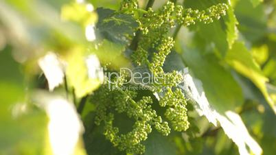 Young grape peduncle growing on plant among leaves on wind