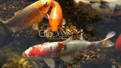 Koi fish feeding in a pond royalty free video and stock for Koi fish living conditions