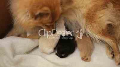 Newborn Pomeranian Puppies Feeding Royalty free video and stock
